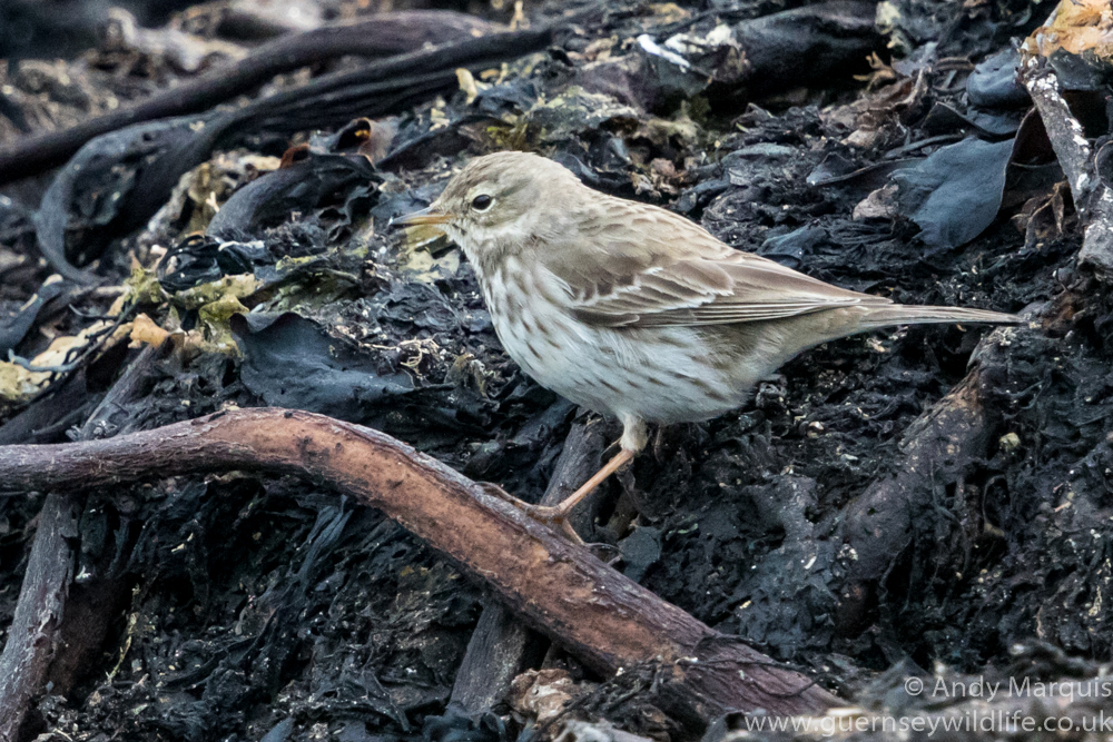 Water Pipit 1119