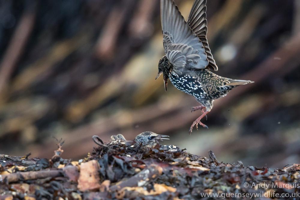 Starling 1391