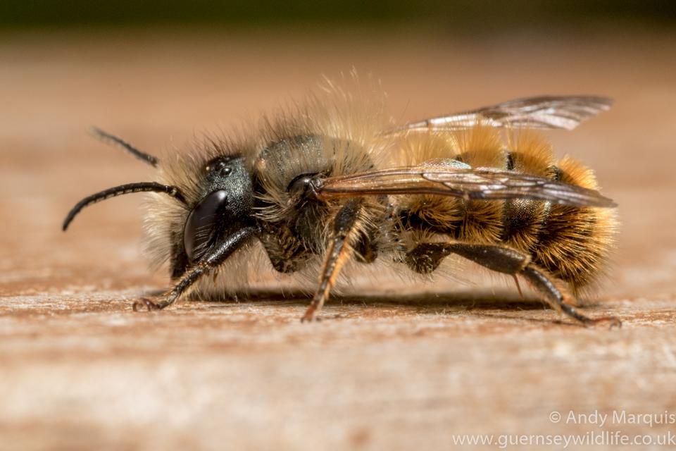 Osmia bicornis - Red Mason Bee 1466