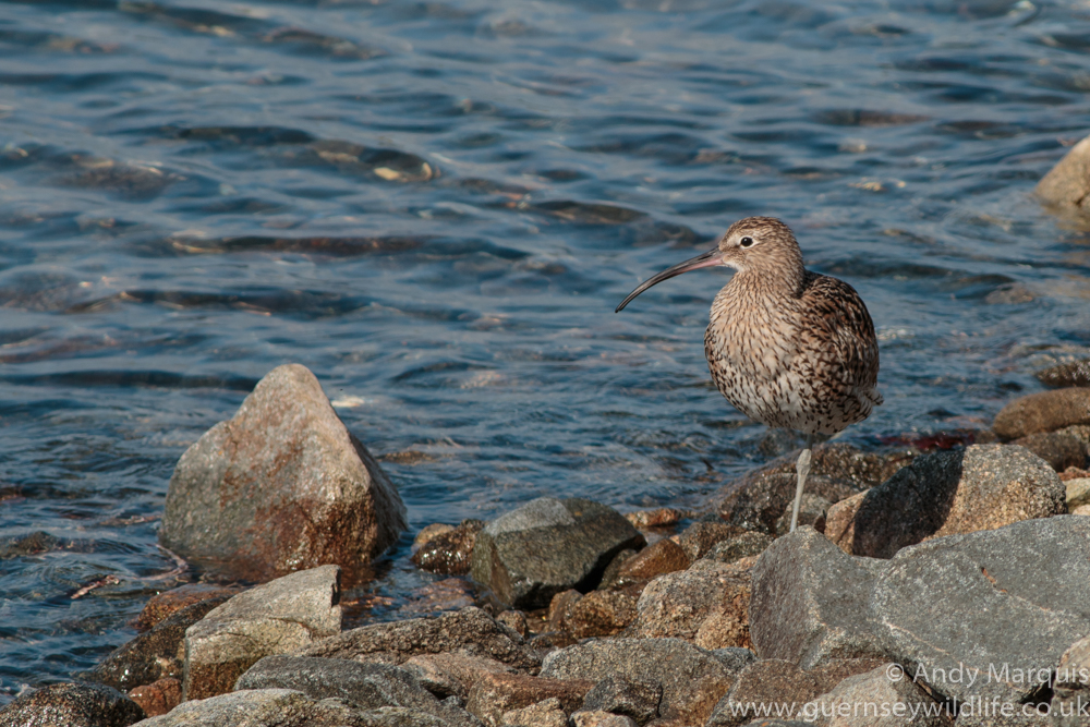 Curlew 1590