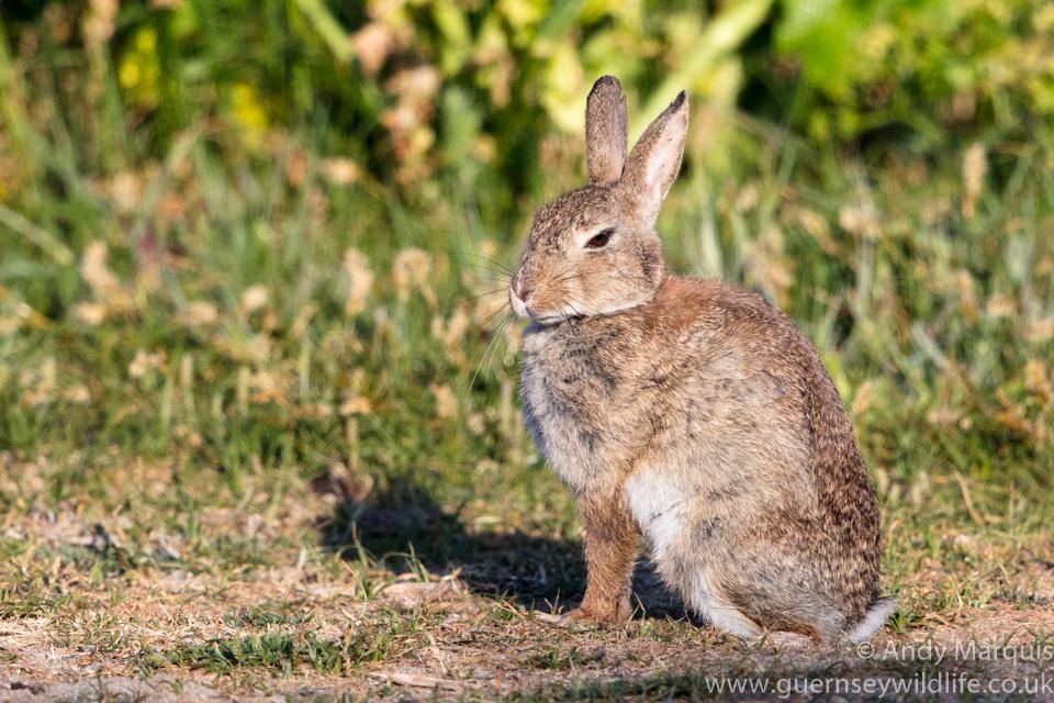 Rabbit 1734