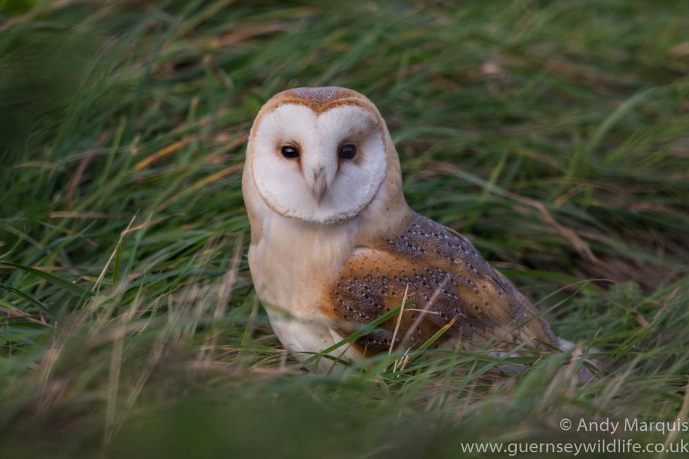 Barn Owl 1908