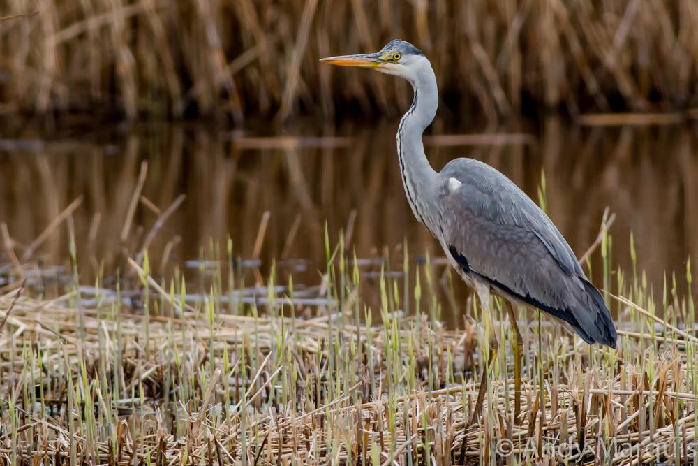 Grey Heron 2133