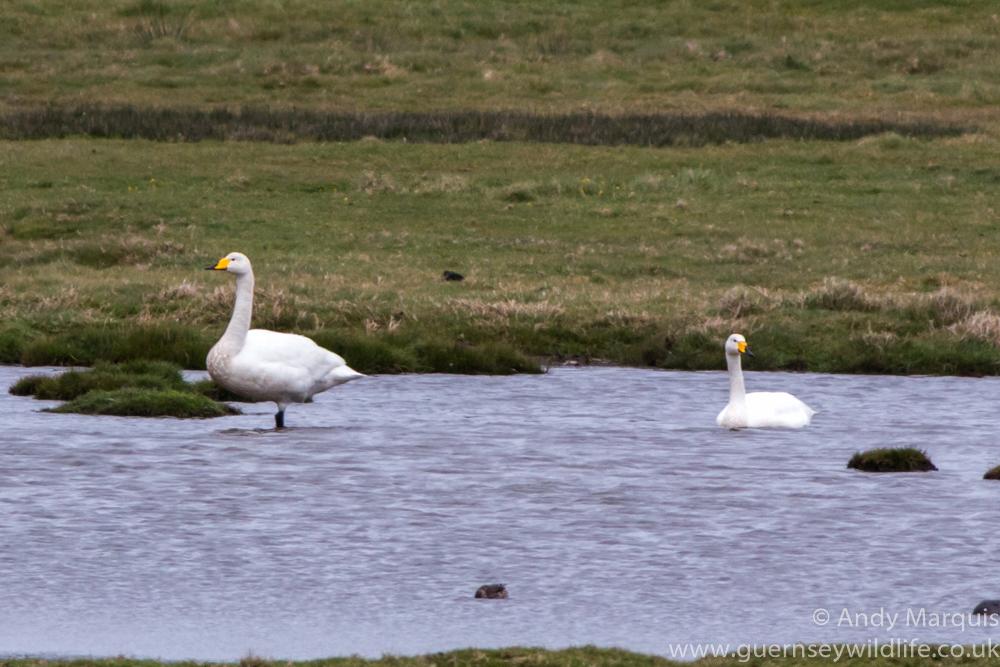 Whooper Swan 2270