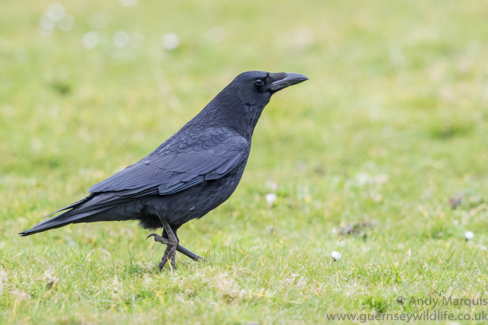 Carrion Crow 2493