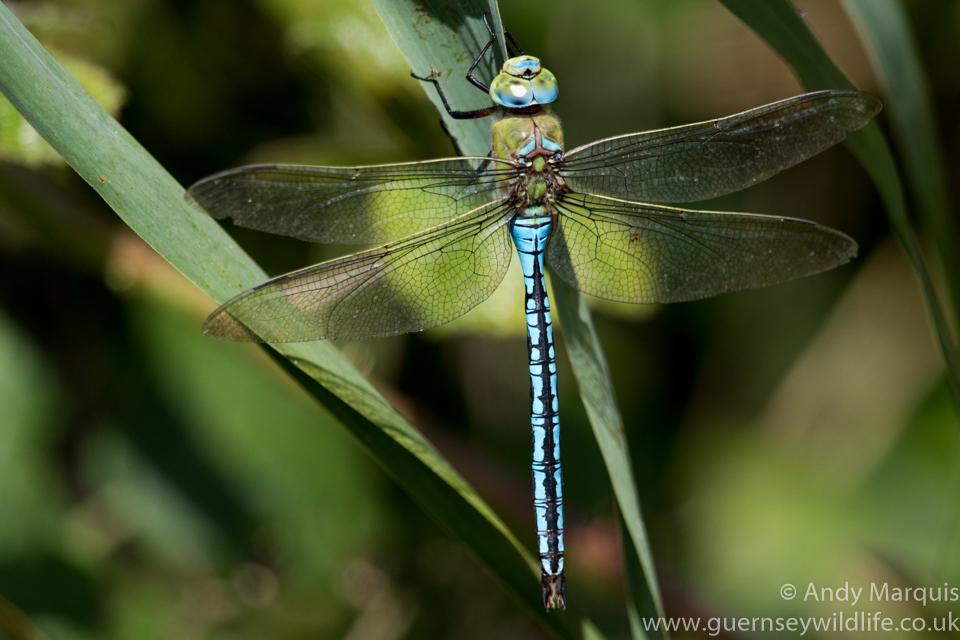 Emperor Dragonfly 2536