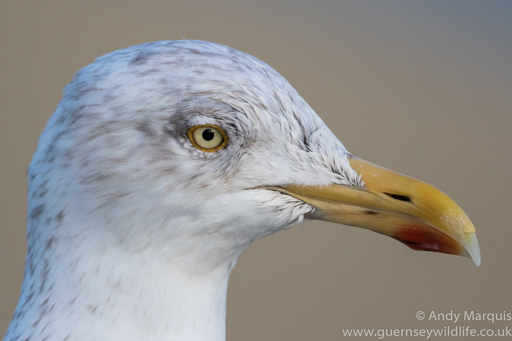 Herring Gull 2999