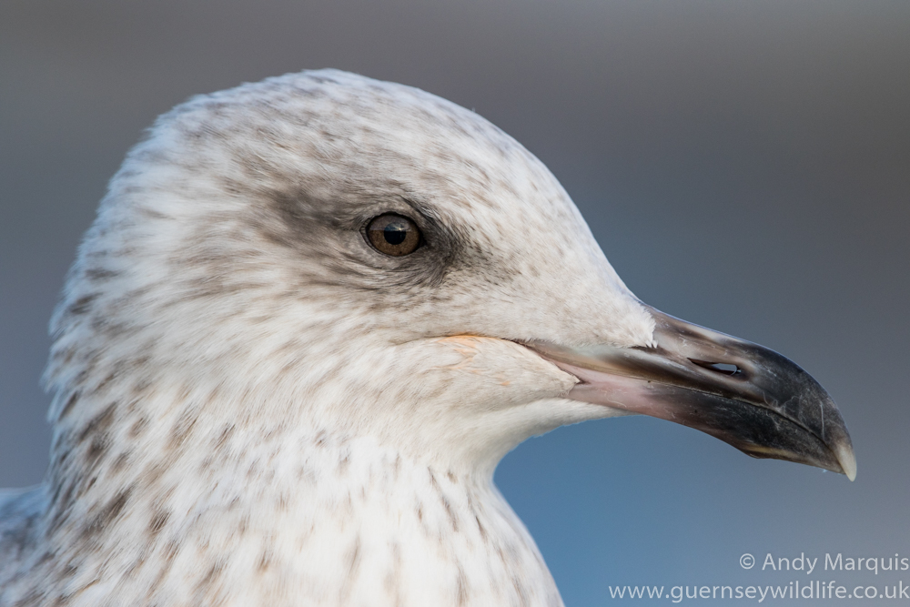 Herring Gull 3005