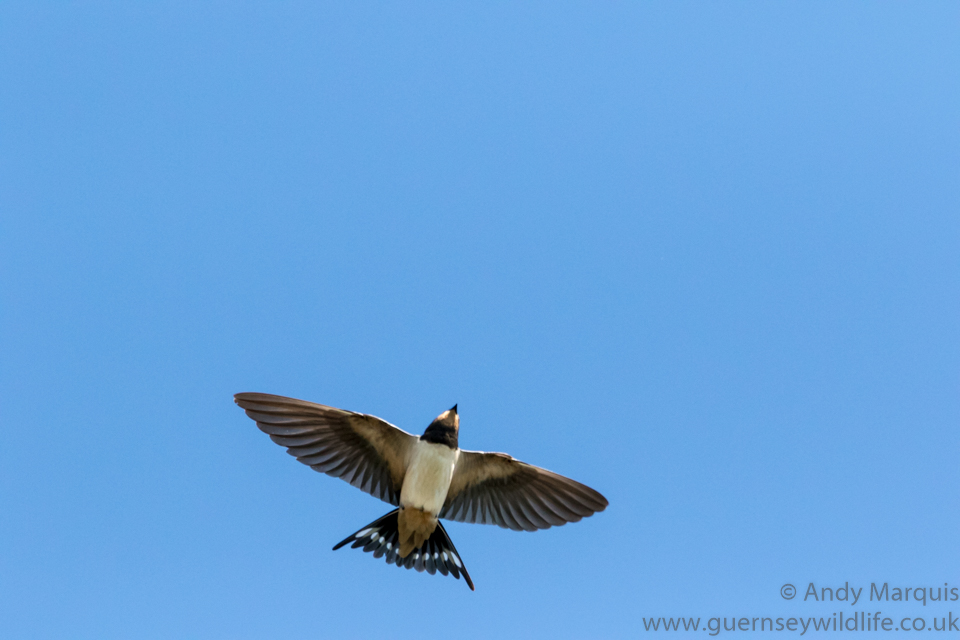 Swallow 3047
