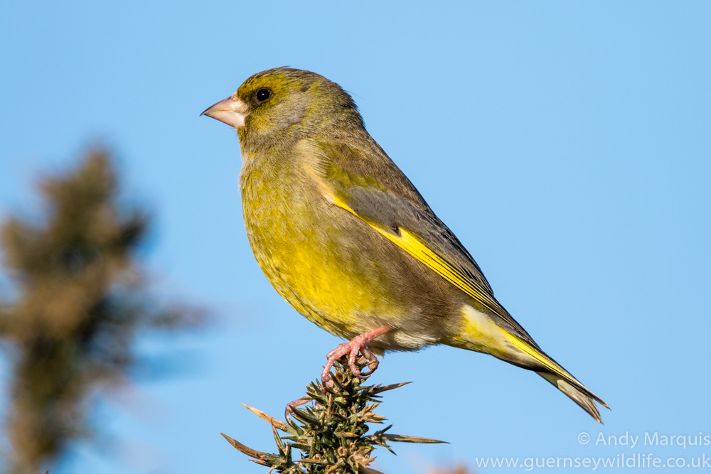 Greenfinch 3073