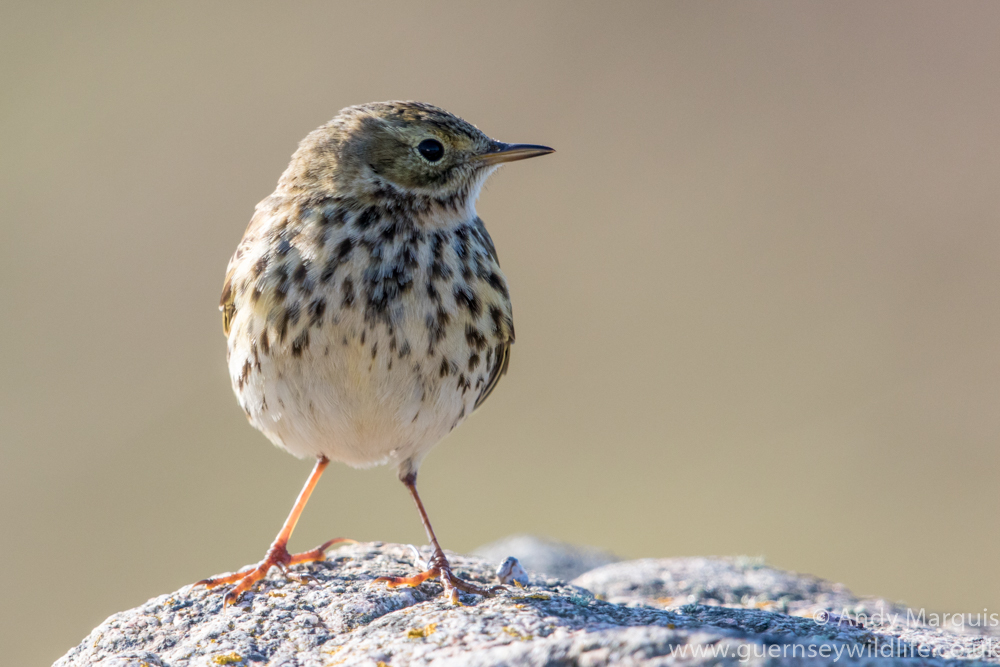 Meadow Pipit 3325