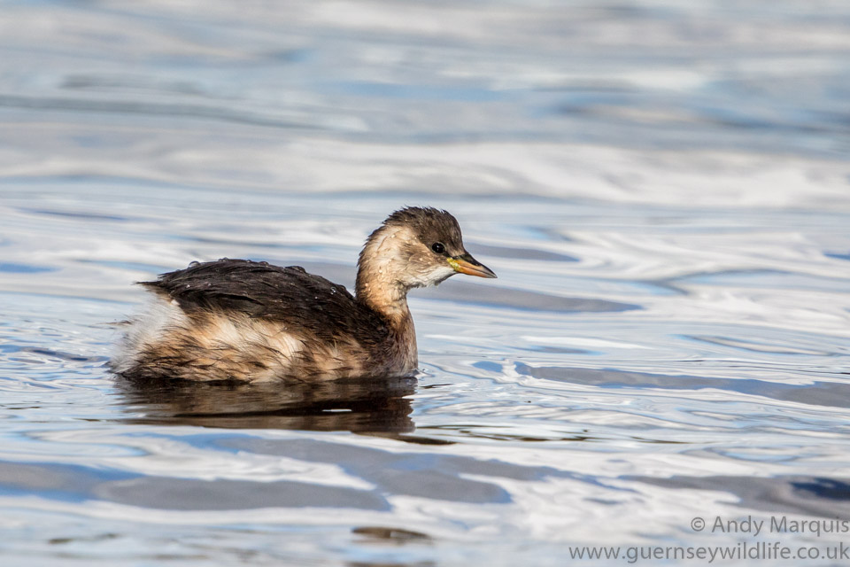 Little Grebe 3331