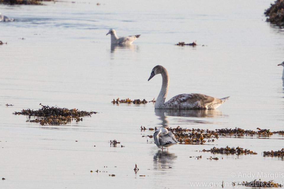 Mute Swan 3522