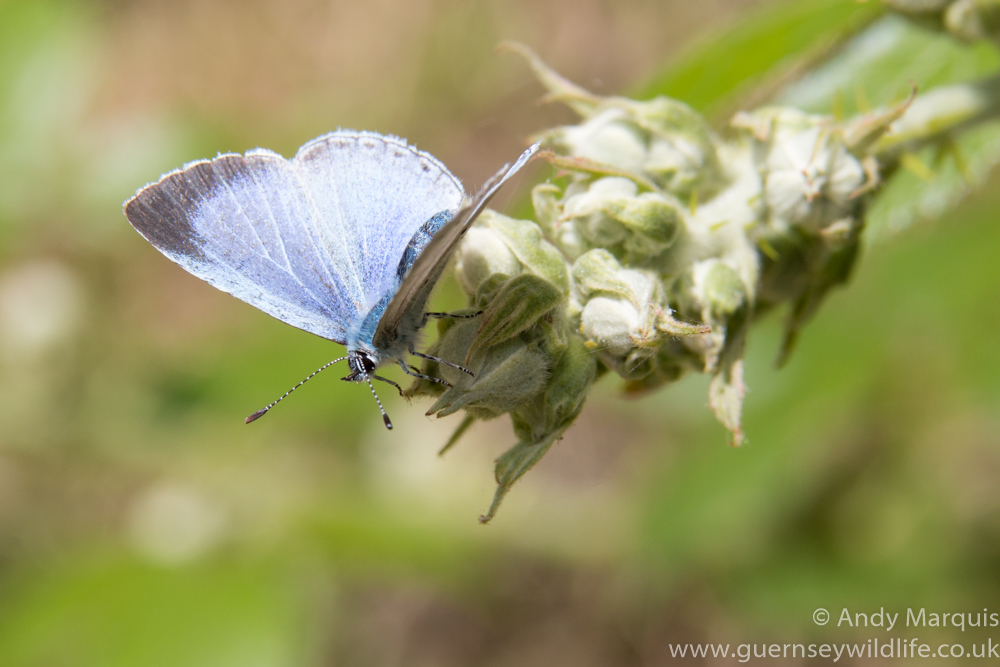 Holly Blue 3643