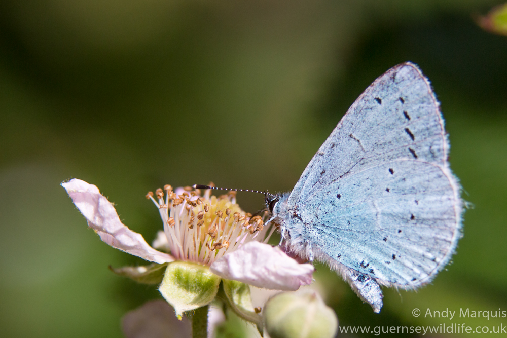 Holly Blue 4075