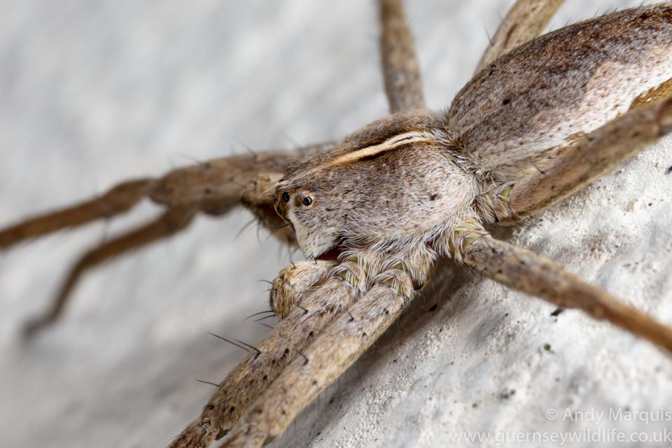Pisaura mirabilis (Nursery Web Spider) 4376