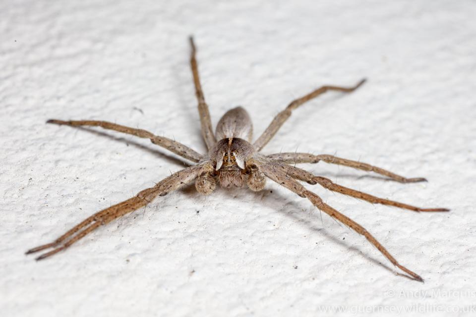 Pisaura mirabilis (Nursery Web Spider) 4378