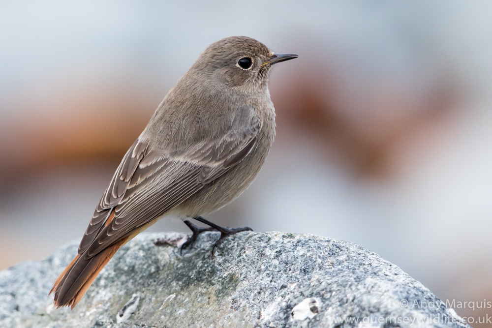 Female Black Redstart 4670