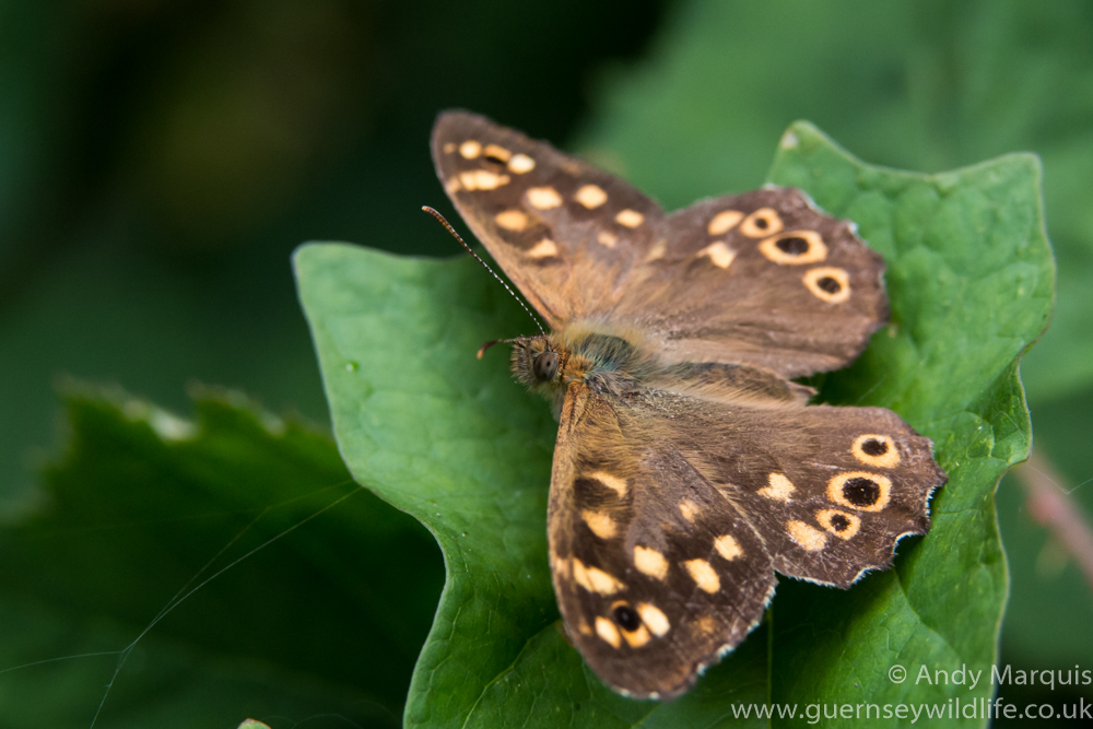 Speckled Wood 4711