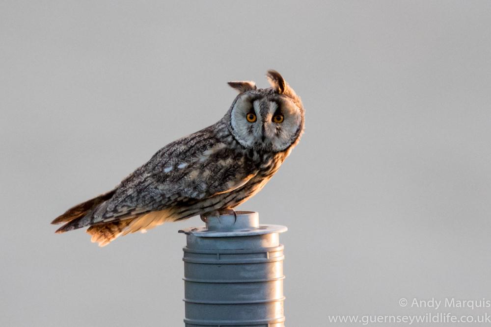Long-eared Owl 4937