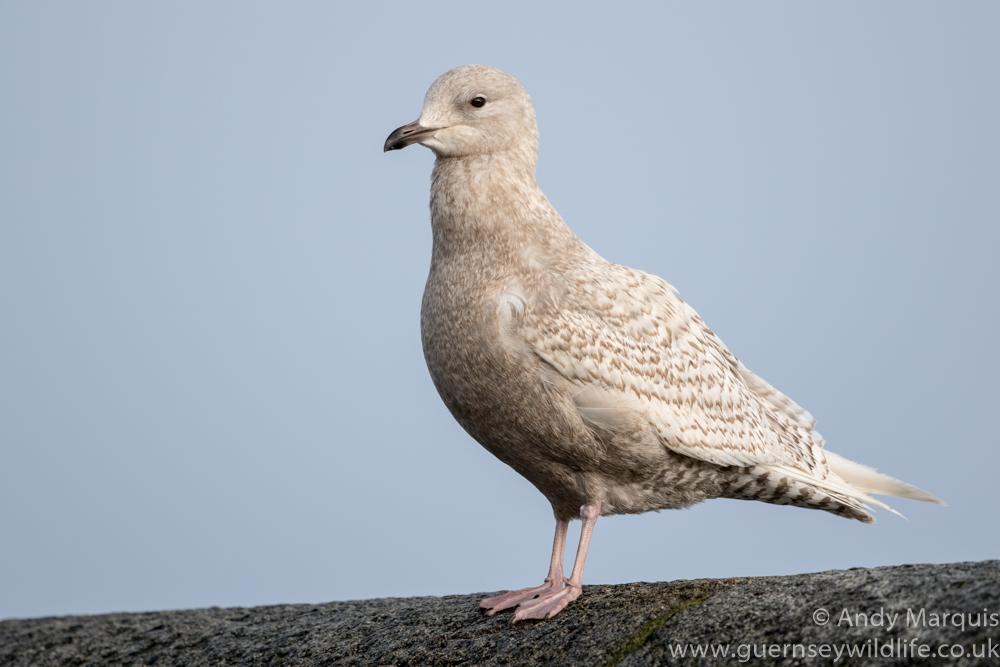 Iceland Gull 5187