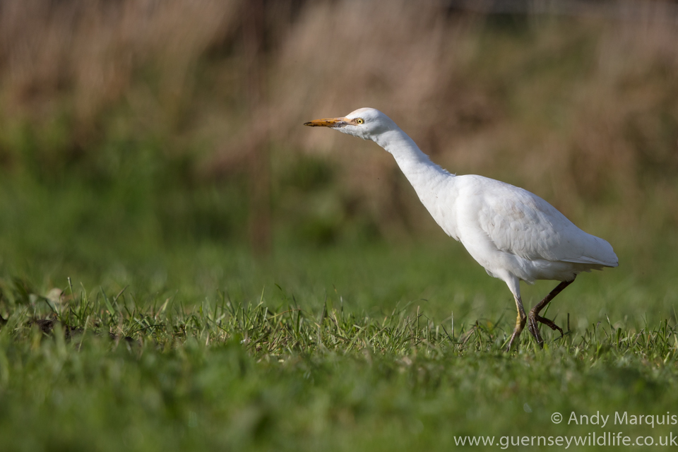 Cattle Egret 5268
