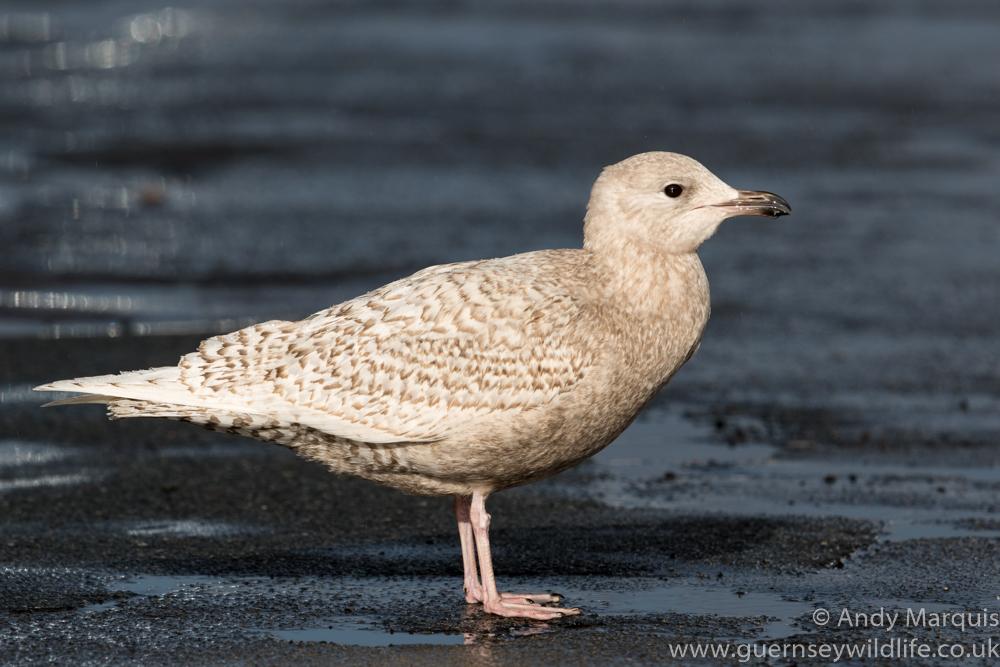 Iceland Gull 5296