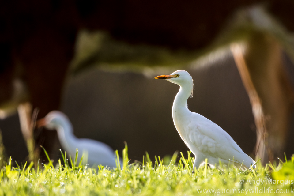 Cattle Egret 5303
