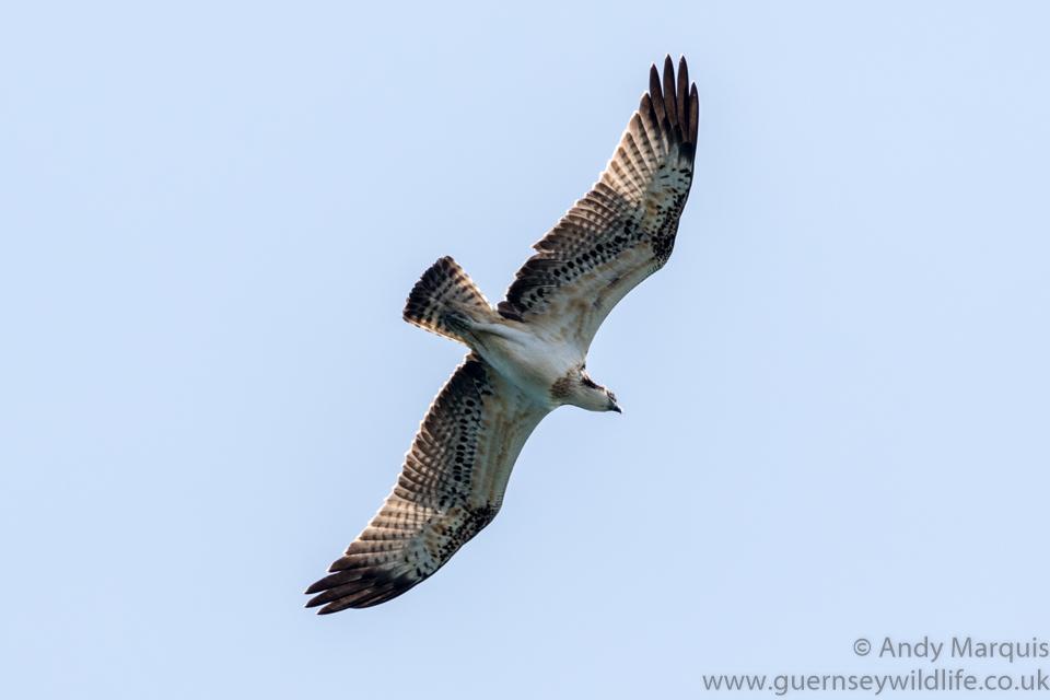 Osprey 5488