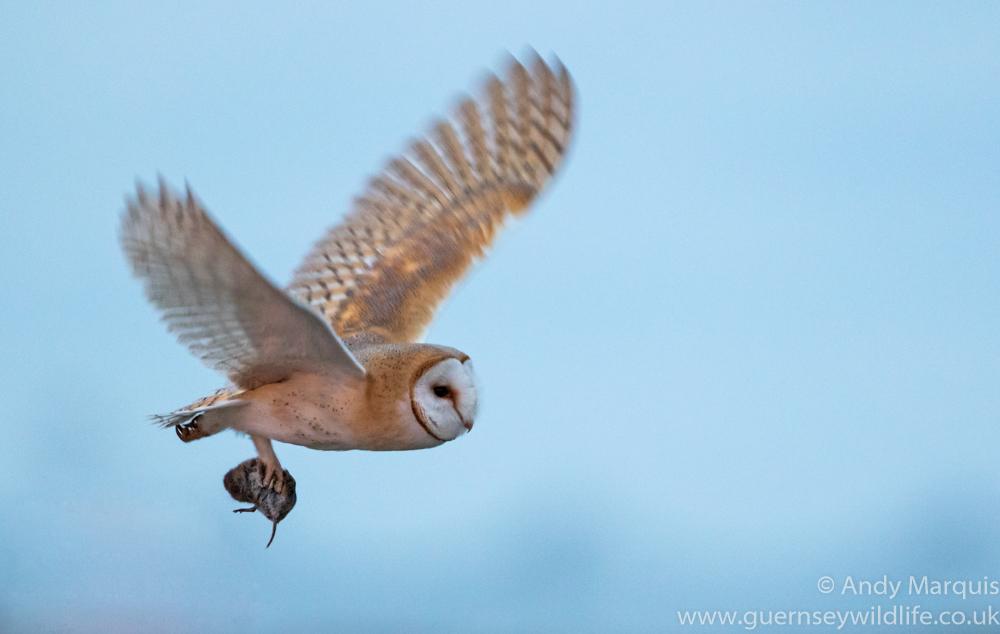 Barn Owl 5647