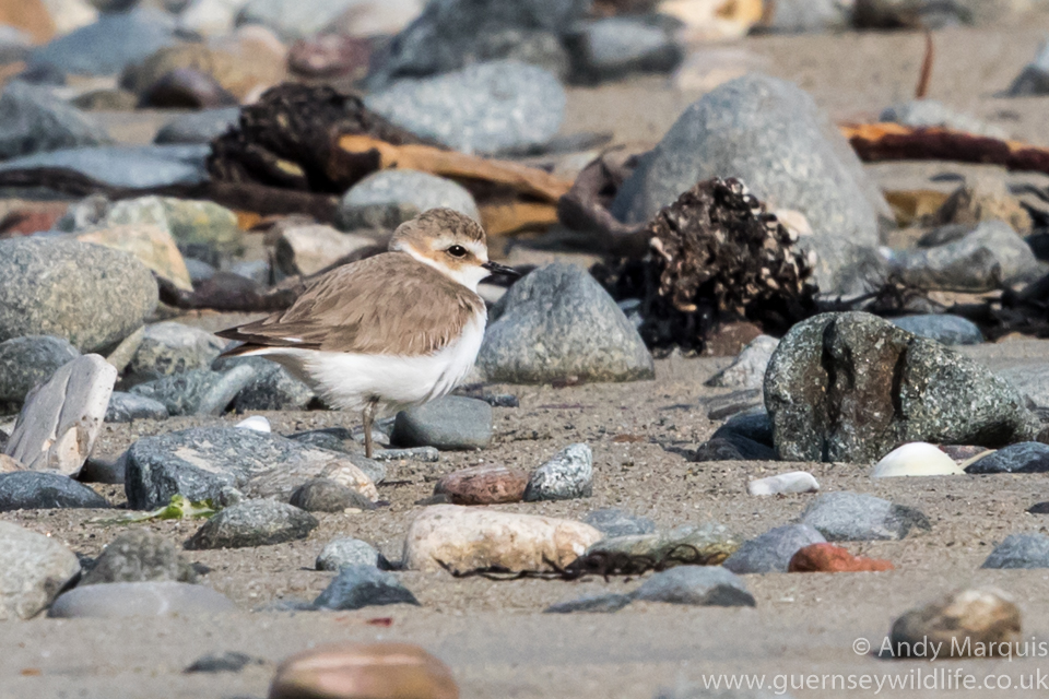 Kentish plover 5709
