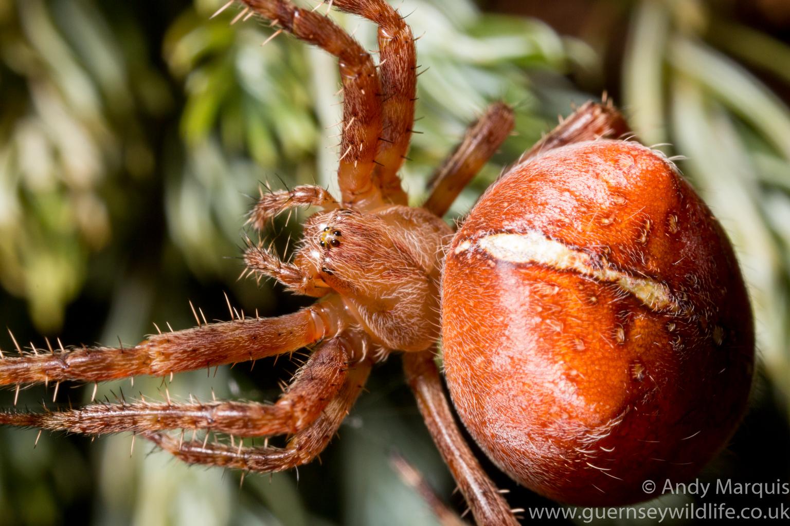 Garden cross spider (Araneus diadematus) - 5739