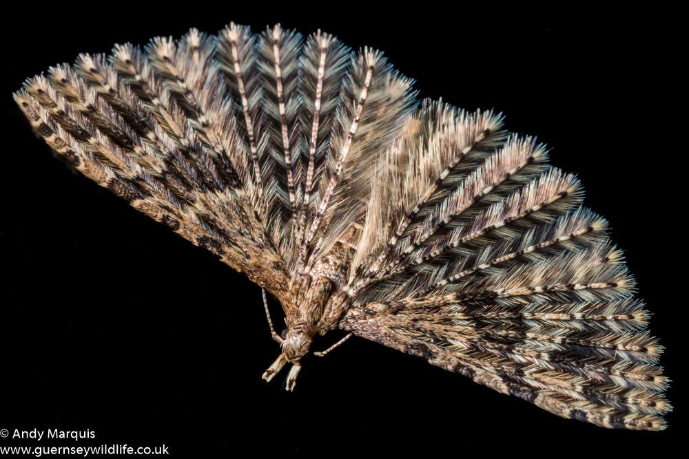 Twenty Plume Moth 5913
