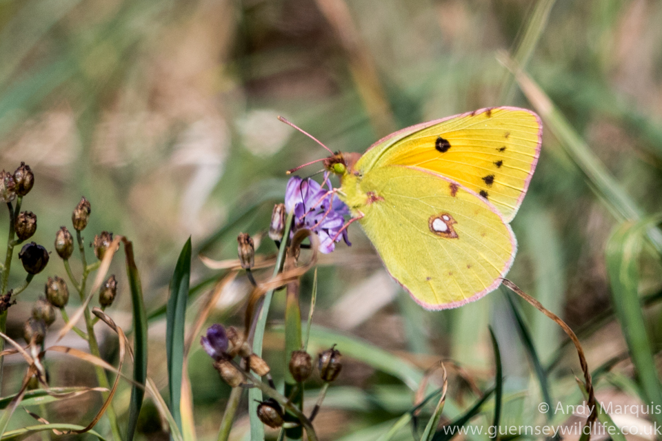 Clouded Yellow 6129