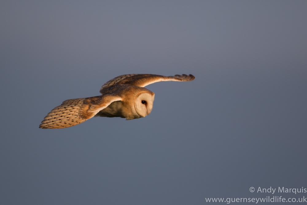 Barn Owl 6656