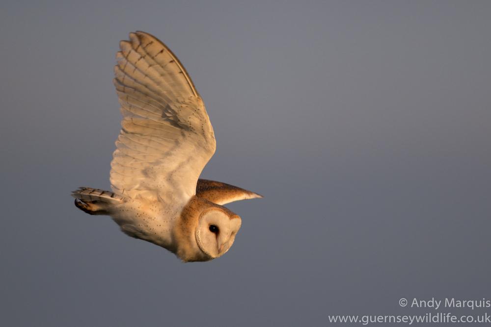 Barn Owl 6658
