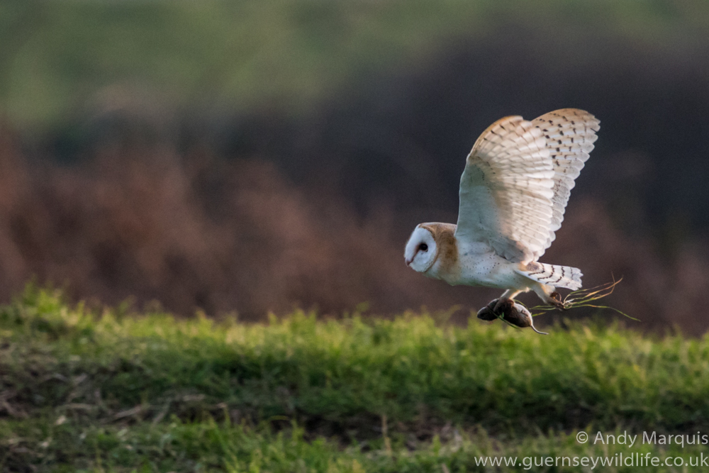 Barn Owl 6697
