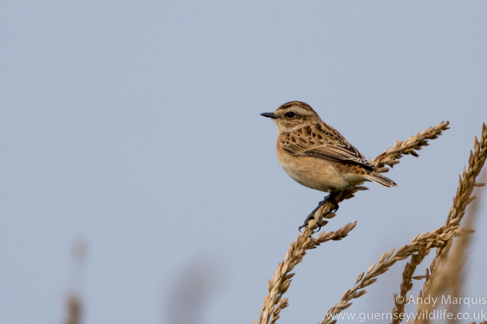 Whinchat 6723