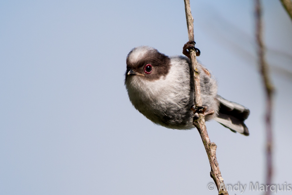 Long-Tailed Tit 6745