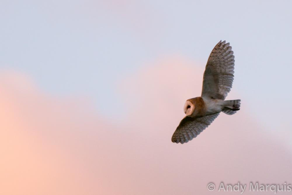 Barn Owl 6894