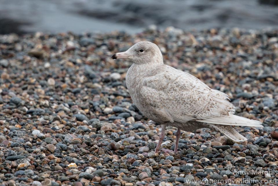Glaucous Gull 6953