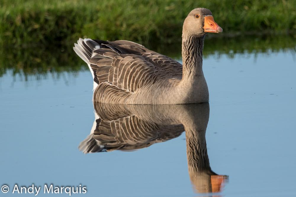 Greylag Goose 7087