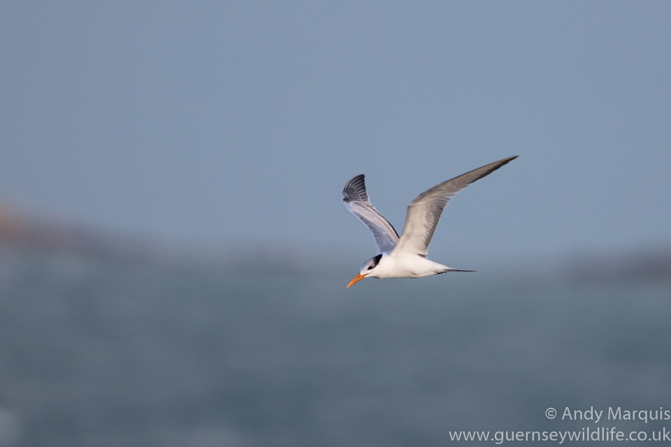 Royal Tern 7183