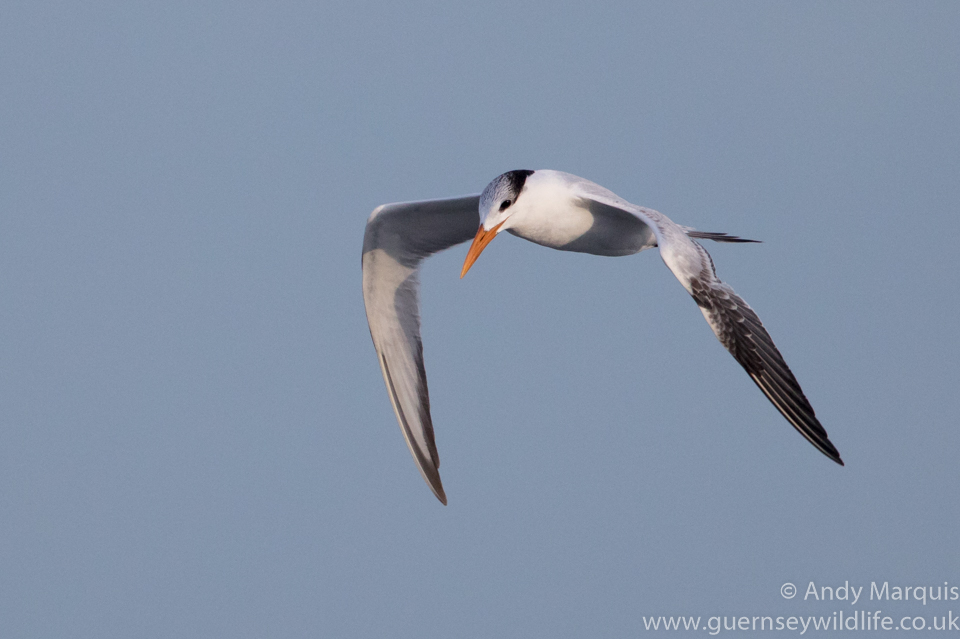 Royal Tern 7186