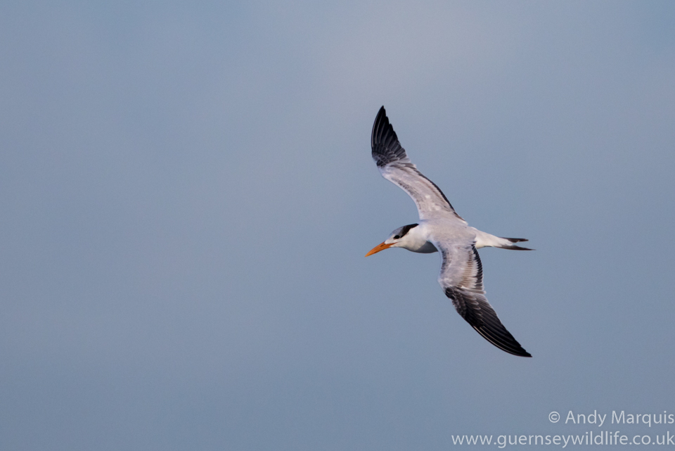 Royal Tern 7188