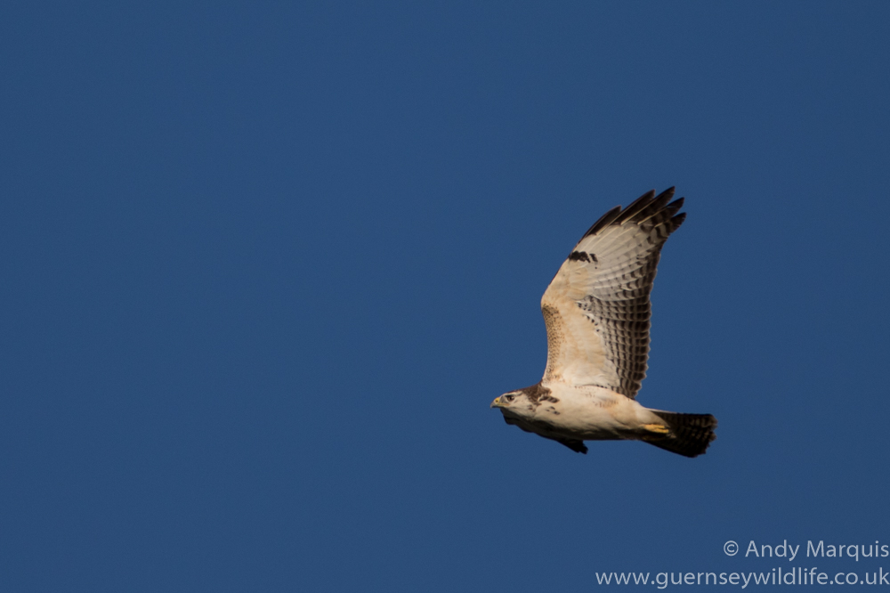 Pale Morph Common Buzzard 7356