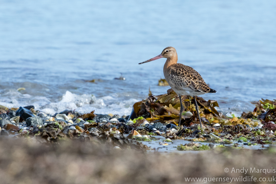 Black-tailed Godwit 7360