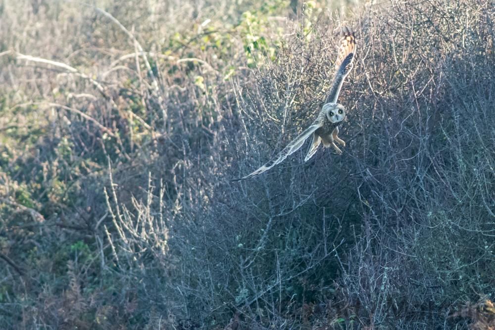 Short-Eared Owl 7371
