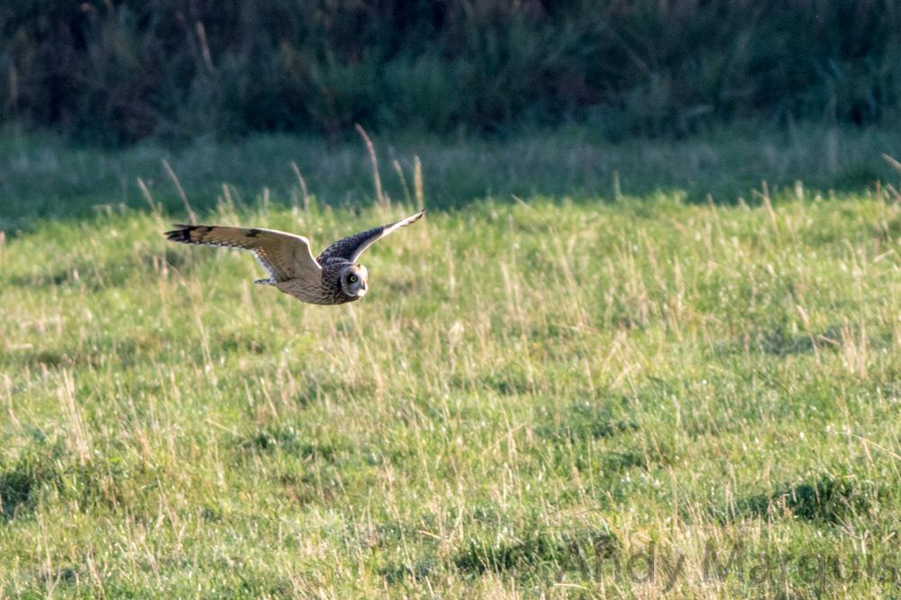 Short-Eared Owl 7378