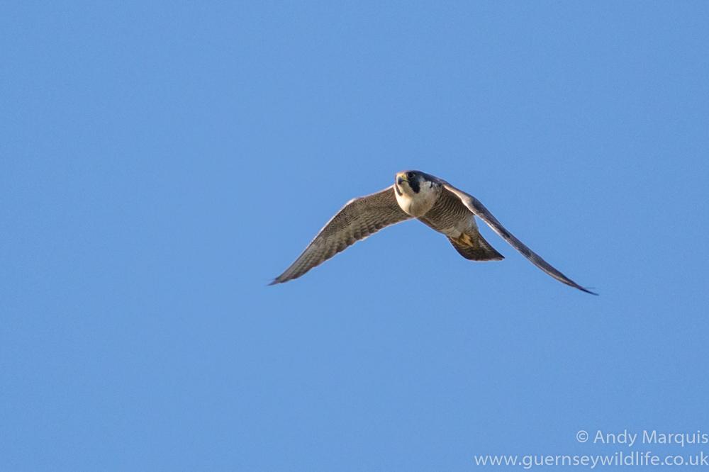 Peregrine Falcon 7422